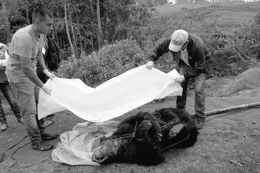 Photo of Hombre que disparó contra oso de anteojos en Fómeque fue capturado