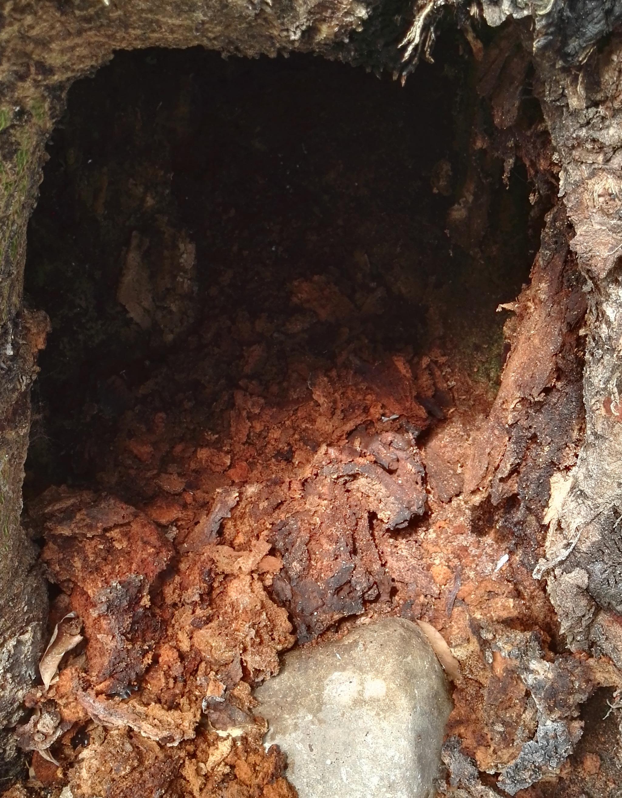 Photo of   IDURY obtuvo autorización para talar un árbol ceiba
