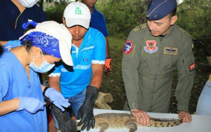 Caimanes llaneros serán liberados en el Parque Nacional el Tuparro por la Fuerza Aérea