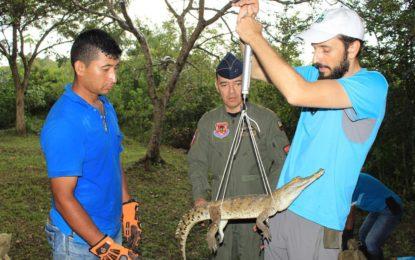 La travesía para el renacer del caimán llanero