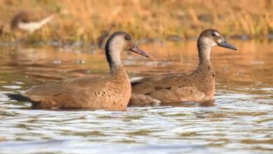 Photo of Más de 160 especies fueron avistadas en Censo de Aves Acuáticas en el Meta
